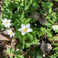 Weiße kleine Blumen mit grünen Blättern und braunem Laub.